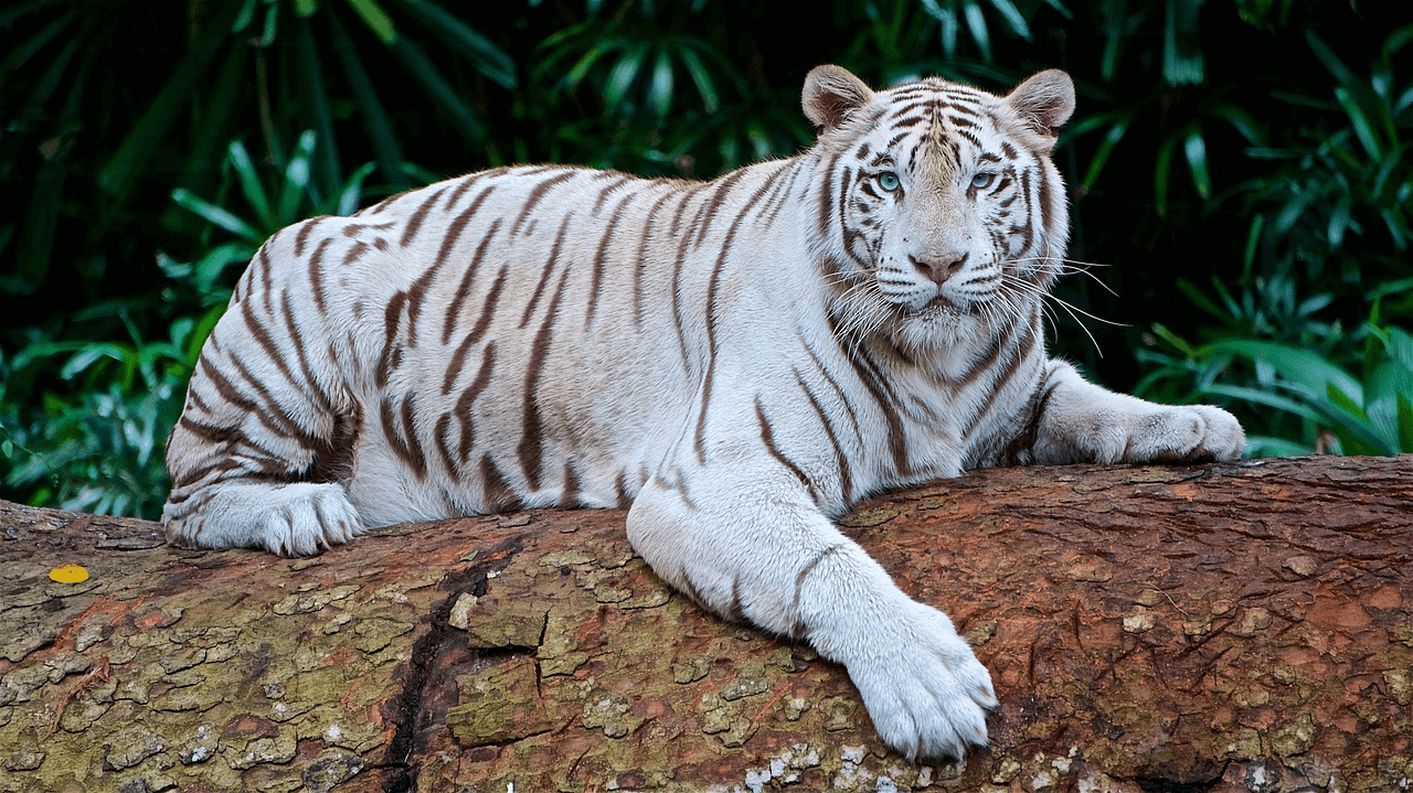 endangered species bengal tiger Why are tigers endangered tigers (panthera tigris) are known as the largest among the cat family (felidae)however, they are also considered as one of the worlds most threatened animal species according to the world wildlife fund (wwf), the number of tigers has already decreased by 95% and the percent survival of tigers in the regions they resided ten years ago has reduced by 40.